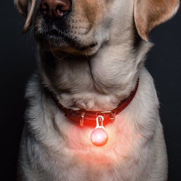 Red light up PGXT Dog Collar on retriever.