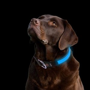 PetIsay blue LED Dog Collar with bright light on labrador.