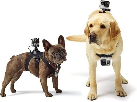 Two dog with GoPro harnesses and GoPro cameras on them,