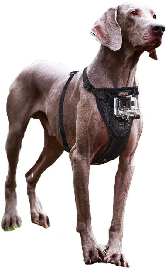 Brown Labrador with Kurgo harness and mounted GoPro camera.