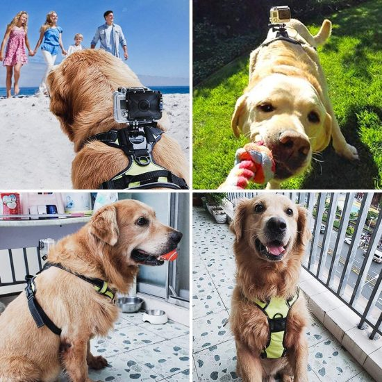 Golden Retriever has GoPro Camera on SmilePowo harness and camera mount.