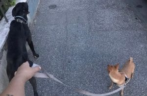 Dog sitter is walking with two dogs while their owner at home.