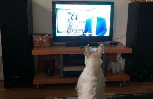 Dog is watching TV while you are at work