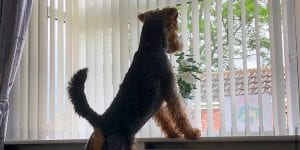 Dog watching at the window while feel bored alone at home