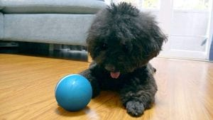 Small dog plays with automatic ball from Cheerble